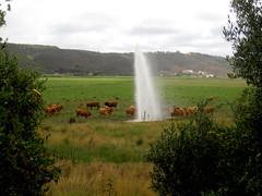 E se de repente Genve explodisse no Alentejo? O que fariam as vacas? (LetsLetsLets) Tags: portugal campo prado geyser odeceixe algarve alentejo campagne julho vacas jetdeau vaches astonished 2015 costavicentina inslito pasmadas