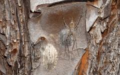 Tamopsis and oothecae (dustaway) Tags: arthropoda arachnida araneae australianspiders hersiliidae tamopsis ootheca tullera nsw northernrivers australia nature tullerapark spinne