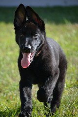 That Hallmark Moment (Laura Ketcham) Tags: dog black cute tongue puppy sweet shepherd german atlas