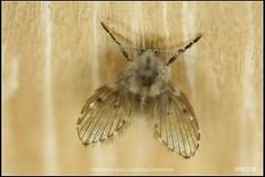 _2X_APSC_01 () Tags: macro canon flickr f e wen wesley mp 28 mm ho dslr f28 animalia arthropoda chen 65 1x diptera 2x  4x insecta mpe 65mm 3x   5x hexapoda pterygota neoptera endopterygota howen  psychodidae  450d nematocera 15x  psychodomorpha albipunctata clogmia  chenhowen   wesleychen  clogmiaalbipunctata psychodoidea