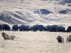 DSCN3301 (David Bygott) Tags: africa male tanzania buffalo lion ngorongoro crater conflict nca natgeoexpeditions