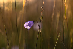 Bokeh Harebell Sunset (pogmomadra) Tags: blue autumn sunset wild sun sunlight flower grass wednesday evening blurry weeds nikon bokeh harebell hbw happybokehwednesday d5300 bevclark pogmomadra