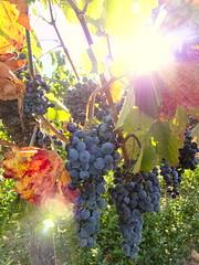 wine grapes (shining beads) (cwipix) Tags: vienna austria wine grapes