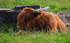 let's chill (Greyscale82) Tags: cattle highland ostsee highlandcattle 2012 galloway kyloe