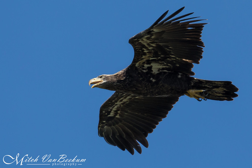 Juvenile Bald Eagle - State Line Lookout