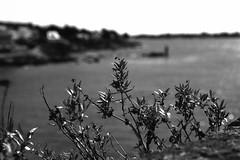 """Bokeh iodé""/""""Iodized bokeh"" (The Blue Water Lily's Company) Tags: sea blackandwhite bw mer plant blancoynegro film monochrome plante landscape nikon brittany noiretblanc bokeh bretagne nb scan concarneau ramparts epson analogue monochrom nikkor paysage ilford fp4 biancoenero remparts 50mm18 finistère f801s analogico afd lc29 analogique v370 fdrouet"