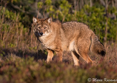 Eastern Coyote posing nicely at sunset today... (photosbymk) Tags: coyote