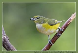 Yellow-throated euphonia #10