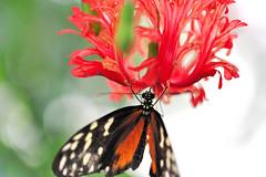 Heliconius sp JVA_0077 (mrjean.eu) Tags: sara sp atlas demi insectes attacus papillons heliconiinae deuil heliconius phaetusa dryatula