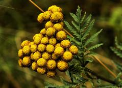 Rainfarn (gutlaunefotos ☮) Tags: outdoor herbst natur pflanze gelb rainfarn