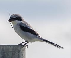 20151017-_74P3521.jpg (Lake Worth) Tags: bird nature birds animal animals canon wings florida outdoor wildlife feathers wetlands everglades waterbirds southflorida 2xextender