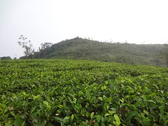 Tea Plantation in Vagamon (Anulal's Photos) Tags: tea camellia teaplantation camelliasinensis chay tealeaves teatree tealeaf teaplant theaceae teavalley teashrub teavally vagamontea vagamonteaplantation teaplantationvagamon teafoliage teaplantationvalley vagamonvally vagamonteavalley