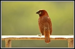 Scaly-breasted Munia (Mitesh S) Tags: india birds canon rebel munia pashan pune xsi scaly breasted 450d 55250mm