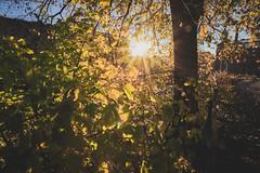 Autumn leaves (PhotographerJockeFransson) Tags: autumn trees sun colors beautiful leaves canon eos sweden l 1740 6d