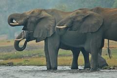Three of a Kind - A refreshing drink...on the Chobe River (Botswana) (stevelamb007) Tags: kasane stevelamb nikon300mmf4 botswana chobenationalpark chobe river drinking elephants tusks trunks wading nikon hazy overcast africa afrika africanwildlife nature water dripping d70s threeofakind