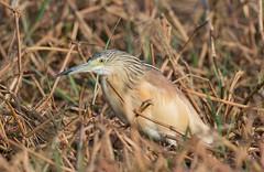 Squacco heron (Lluniau Clog) Tags: kenya greatriftvalley squaccoheron ardeolaralloides commonsquaccoheron lakebaringo