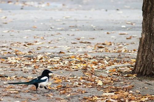 The march of the furtive magpie