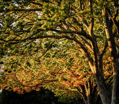 Early Autumn Leaves (randyherring) Tags: california ca trees color colors leaves sanjose nikonp900