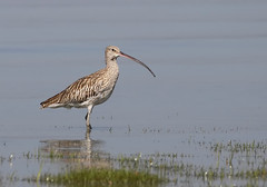 Eurasian curlew (tareq uddin ahmed) Tags: bird animal canon shore species usm eurasian ahmed bangladesh curlew chittagong uddin tareq numenius arquata canon100400l 70d kattoly