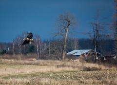 Young Bald Eagle . . . (Dr. Farnsworth) Tags: bird fall field birds mi shopping bag flying corn baldeagle plastic westlake nationalgeographic snowyowl fooled december2015