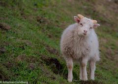 27062015-541.jpg (JohannesLundberg) Tags: sheep bovidae mammalia gl fr grnland ovisaries eutheria ovis artiodactyla caprinae theria caprini tamfr kujalleq