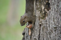 Squirrel hunting for food (Lim SK) Tags: squirrel sciuridae