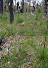 Grevillea wilsonii and Xanthorrhoea preissii, Yarloop, south of Waroona, WA, 18/09/16 (Russell Cumming) Tags: plant grevillea grevilleawilsonii proteaceae xanthorrhoea xanthorrhoeapreissii xanthorrhoeaceae yarloop waroona mandurah westernaustralia