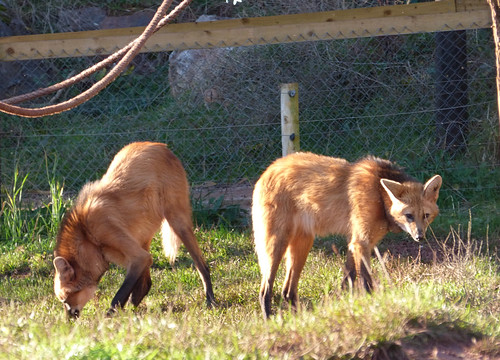 South Lakes Zoo - maned wolves