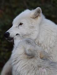 Loups blancs Omega (26) (DomyNature) Tags: parcomega loupblanc