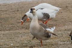 Swan Geese