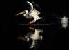 LakeChabot_123116_054 (kwongphotography) Tags: lakechabot castrovalley birds calif americanwhitepelican pelican wildlifephotography nature naturephotography wildlife birdsinflight unitedstates