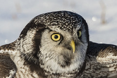 Northern Hawk Owl (Peter Stahl Photography) Tags: nho northernhawkowl owl winter snow alberta edmonton outdooors bird