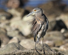 Hello 2017  :)   ....  Explored! :) (Paridae) Tags: heron nightheron immaturenightheron immatureyellowcrownednightheron yellowcrownednightheron birdsofmexico birdsofsayulita nyctanassaviolacea thingswithwings featheredfriends birdsofafeather afewofmyfavouritethings canoneos7d