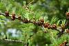 Larix laricina-11 (Tree Library) Tags: tamarack larixlaricina