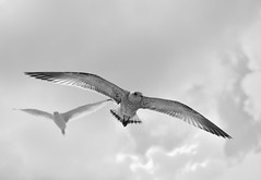 Gulls-22 (l i v e l t r a) Tags: 2470mmf28g gulls birds sea fly bw black white sky open float glide wings feathers spots feet tail clouds cloudy airbourne sail hover windy high up air breezy breeze territory oceanic pair avian bird escape d3 nikon