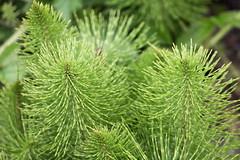 Atkuyruğu otu - Horsetail (halukderinöz) Tags: atkuyruğu kırkkilit horsetail plant bitki ot yeşil green marmara canoneos40d eos40d hd