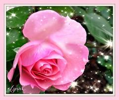 Star Bright Star Light (Lynn English) Tags: rose ps summer pink