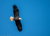 Eagles 1.1.2017-10 (alan.forshee) Tags: birds flight eagles bald trumpeter swans feathers flying launch land prey predator fish sky water fowl