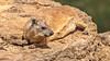 Gute Tarnung, langes Leben. (Renate Bomm) Tags: klippschliefer safari tiere vermerk ef200mmf28 canoneos50d schliefer kenia 7dwf animals
