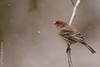 Snowy Finch (dbifulco) Tags: hofi snowing birds housefinch male nature newjersey nikkor300f4pfed snow wildlife winter