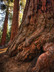 Giant's Foot (Brian Truono Photography) Tags: california hdr highdynamicrange nps nationalpark nationalparkservice redwood roundmeadow arbor bark base big biology branches detail extract firescar green large natural nature red sequoia sunlight tall tree trees wood