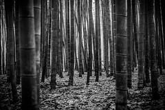 Bamboo (stickyfiddle) Tags: japan kyoto bamboo forest black white bw trees japanese tokyo nature fuji fujifilm xt1 blackandwhite monochrome landscape outdoor green