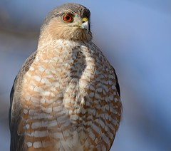 Sharp-shinned Hawk (JDA-Wildlife) Tags: birds birdsofprey raptors hawks hawksharpshinned sharpshinnedhawk nikon nikond7100 tamronsp150600mmf563divc jdawildlife johnny portrait closeup whatbirdbestofday wow brilliant