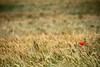 Solitària (gus el gamarús) Tags: llavinera catalonia catalunya naturaleza campo camp land nature natura amarillo yellow red rojo groc vermell poppy piripipi amapola rosella cereal wheat trigo blat solitaria solitària alone