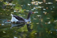 oie (rondoudou87) Tags: oie goose pentax k1 parc zoo reynou reflection reflexion water eau nature natur wildlife wild smcpda300mmf40edifsdm