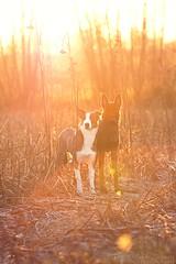 Sunset Boys (Maria Zielonka) Tags: hund hunde hundefotografie dog dogs dogphotography tierfotografie animaphotography hamburg deutschland germany schäferhund schäferhundmix schäferhundmischling hollandseherdershond herder holländischer dutch shepherd shepherddog shepherdmix stray straydog sunset sonnenuntergang gegenlicht flares flare stoppelfeld feld fotografie photography mariazielonkafotografie