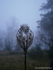 Morgentau (Weinidylle777) Tags: blume morgentau november südsteiermark