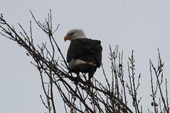 Bald Eagle (Terrance Carr) Tags: 201201 brunswick ferry dncb port terry carr 20120109 2012 january terrycarr