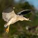 Black-crowned+Night+Heron