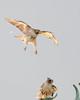 T4 and Mom (wn_j) Tags: birds birding birdsofprey birdsinflight nature naturephotography wildlife wildanimals wildlifephotography redtailhawk raptors raptor franklinhawks franklinhawk